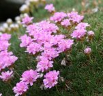 Armeria juniperifolia 'New Zealand Form' Армерия дернистая