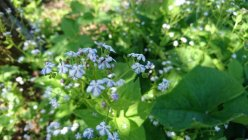 Brunnera macrophylla 'Starry Eyes'
