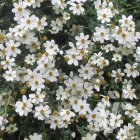 Bidens ferulifolia 'Bellamy White'