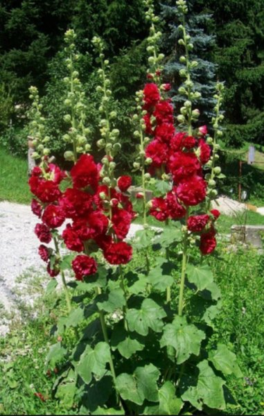 Alcea rosea 'Chaters Scarlet' Шток-роза