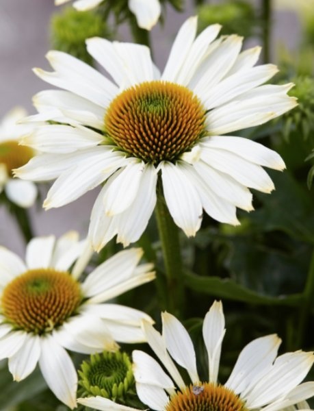 Echinacea 'Innocent Meadow Mama' Эхинáцея