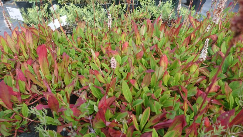 Persicaria affinis 'Kabouter'
