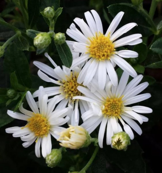 Aster ageratoides 'Starshine' Астра