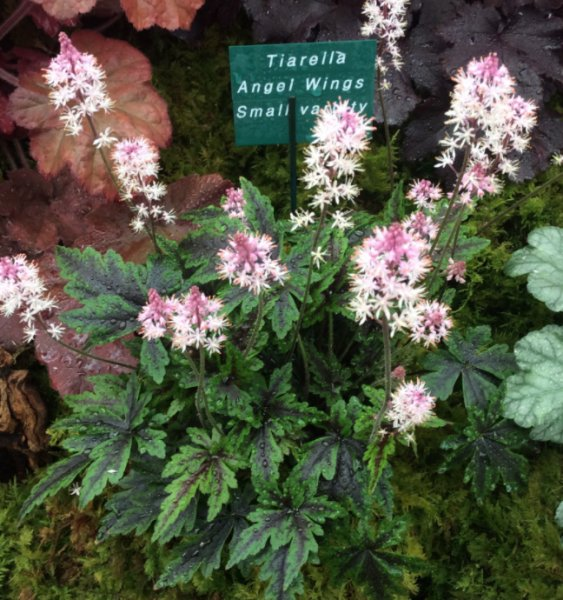 Tiarella 'Angel Wings' Tiarell