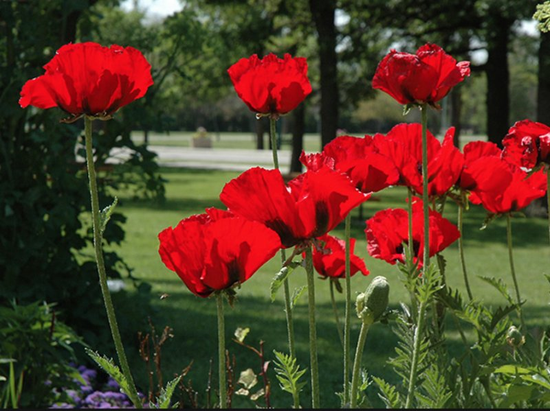 Papaver orientale 'Beauty of Livermere' Idamagun