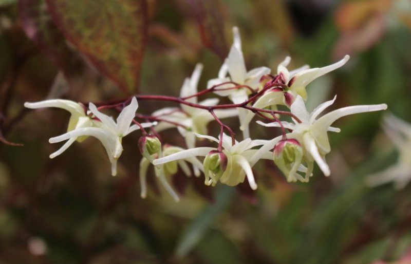 Epimedium grandiflorum 'White Queen' Suureõieline epimeedium