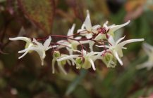 Epimedium grandiflorum 'White Queen' Idänvarjohiipa