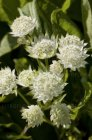 Astrantia 'White Angel'