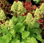 Heuchera Little Cutie 'Blondie in Lime'