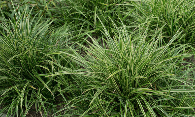 Carex morrowii 'Ice Dance' Japaninsara