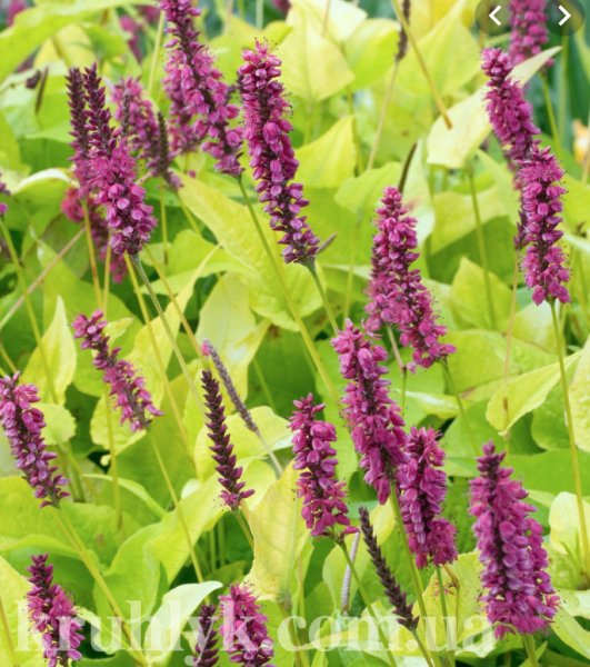 Bistorta (Persicaria) amplexicaulis 'Golden Arrow'