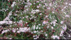 Symphyotrichum (Aster) lateriflorum 'Lady in Black'
