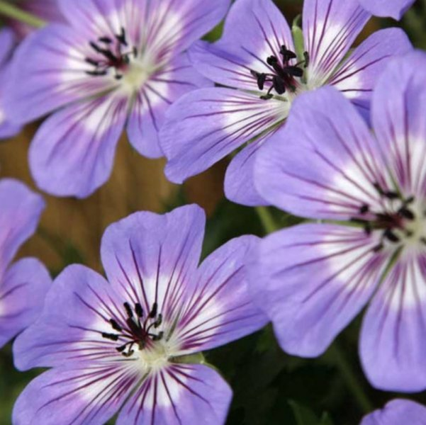 Geranium wallichianum 'Rise and Shine' Wallichi kurereha