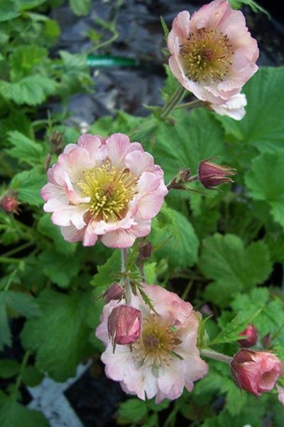 Geum 'East of Eden'