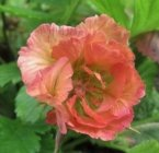 Geum 'Smokey Peach'