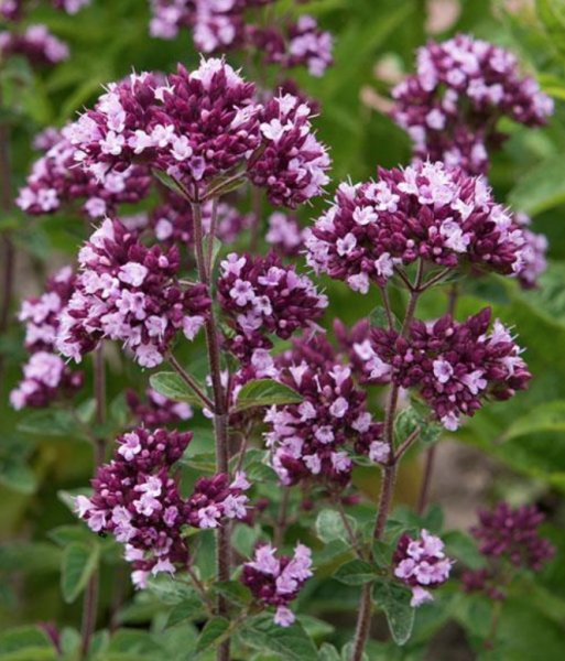 Origanum hybride 'Gentle Breeze' Pune