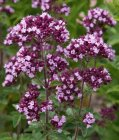 Origanum hybride 'Gentle Breeze'