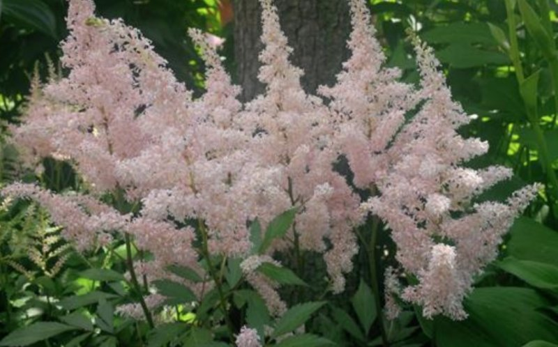 Astilbe 'Younique Silvery Pink' Jaloangervo