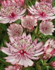 Astrantia major 'Sparkling Stars Pink'