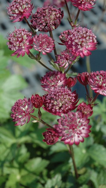 Astrantia major 'Star of Fire' Isotähtiputki