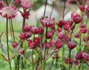Astrantia major 'Star of Love'