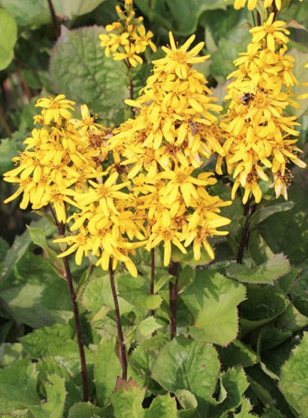 Ligularia x hessei 'Little Lantern'