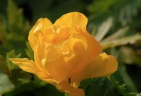 Trollius 'Earliest of All' Tarhakullero