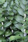Polygonatum humile Solomon's Seal
