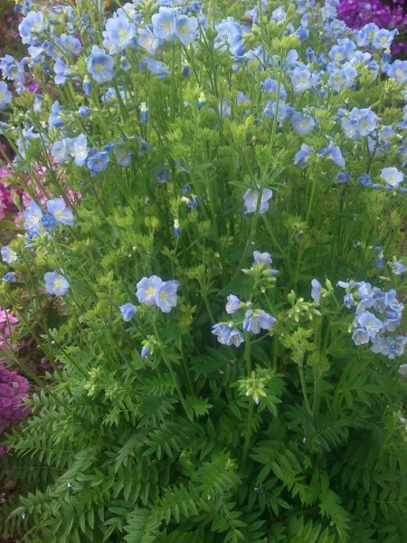Polemonium caeruleum 'Northern Light's'