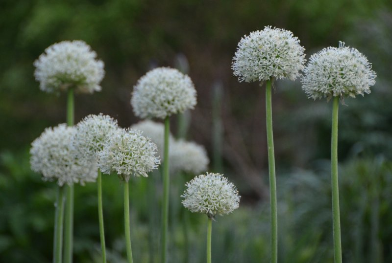Allium stipitatum 'Mount Everest' Varrekas lauk