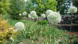 Allium stipitatum 'Mount Everest' Sorjalaukka