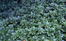 Pachysandra terminalis ' Green Carpet' Japanese Spurge