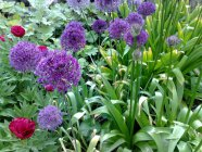 Allium hollandicum 'Purple Sensation' Hollandi lauk