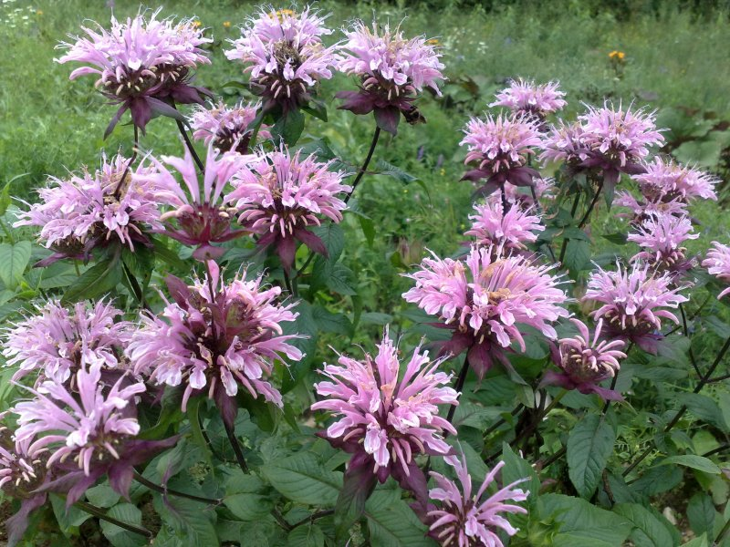 Monarda´Beauty of Cobham`Mонарда гибридная