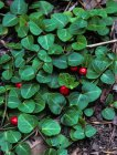Mitchella repens Partridgeberry