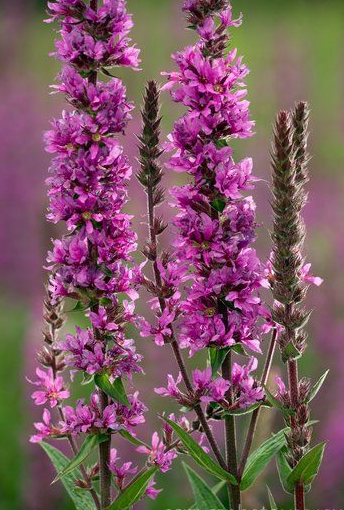 Lythrum salicaria Purple Loosestrife