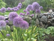 Allium 'Gladiator' Лук