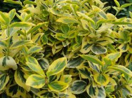 Euonymus fortunei `Emerald`n Gold`