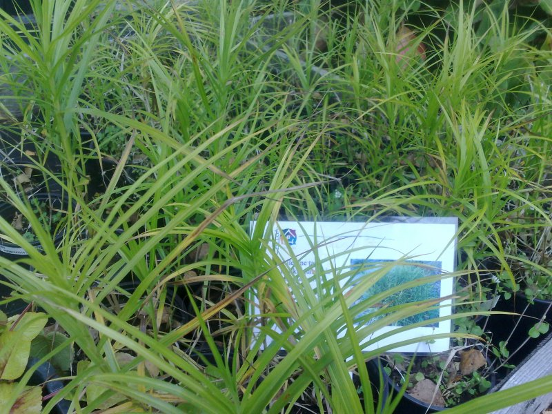 Carex muskingumensis 'Green Star'