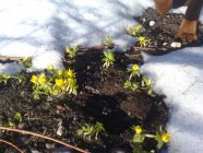 Eranthis hyemalis Winter aconite