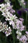 Lavandula angustifolia 'Little Lottie'