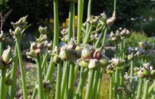 Allium x proliferum Rindeline sibul