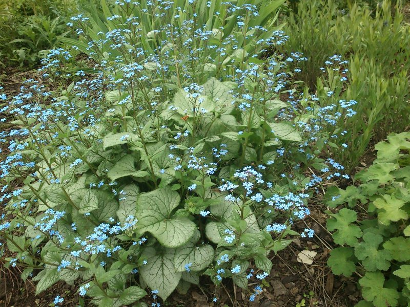 Brunnera macrophylla 'Looking Glass' Rotkolemmikki
