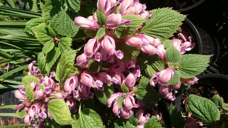Lamium orvala Balm-leaved red deadnettle