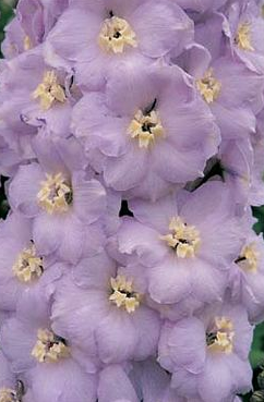 Delphinium x cultorum Benary's pacific 'Guinevere' Дельфиниум культурный