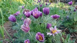 Pulsatilla vulgaris Pasque Flower