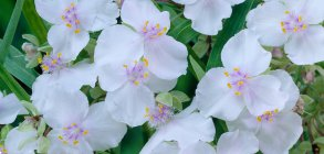 Tradescantia 'Little White Doll'