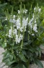 Physostegia virginiana 'Crystel Peek White'