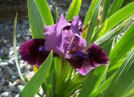 Iris pumila 'Regards'
