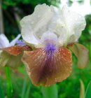 Iris germanica 'Leapin Lizards'